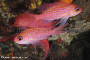 bio-Anthias